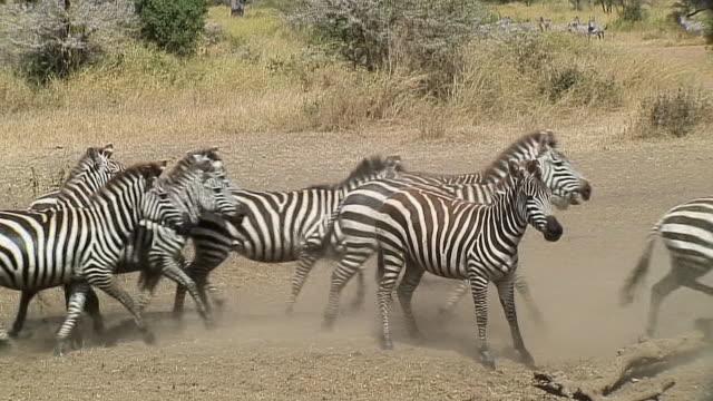 WS PAN Zebras running out of water, Serengeti, Tanzania