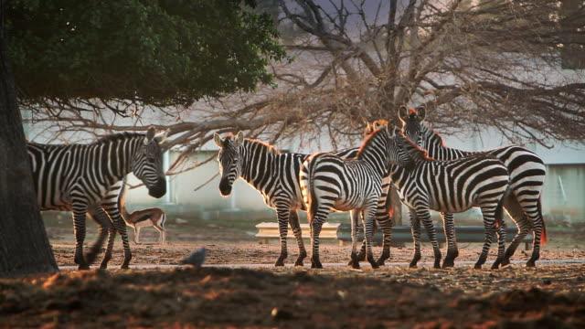 zebras stand together in a desert. - herde stock-videos und b-roll-filmmaterial