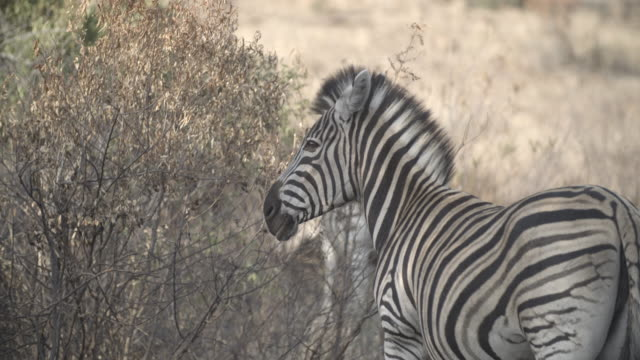 zebras surrounded by the bush /pilanesberg national park /south africa - herbivorous stock videos & royalty-free footage