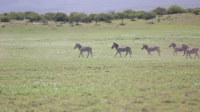 zebras trotting - wiese video stock e b–roll