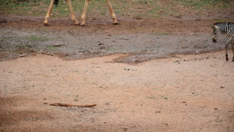 zebras - animal markings stock videos & royalty-free footage