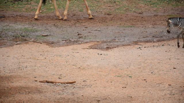 vídeos de stock e filmes b-roll de zebras - quatro animais
