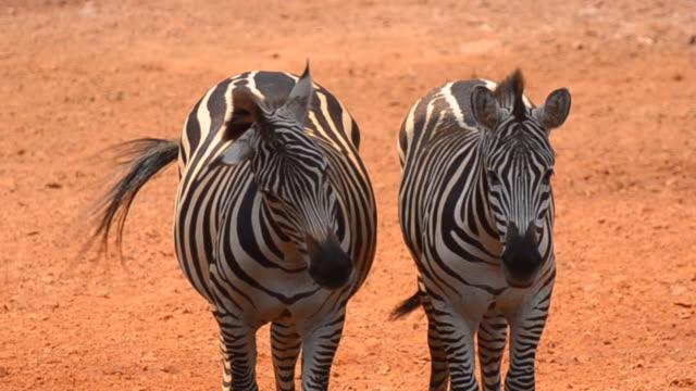 vídeos de stock, filmes e b-roll de zebras - dois animais