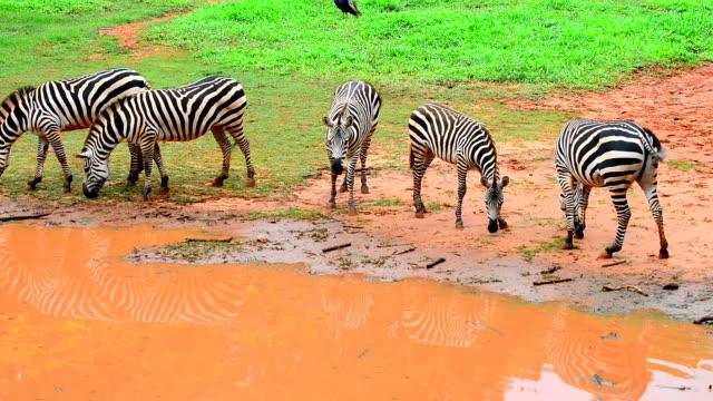zebras - 動物の色点の映像素材/bロール
