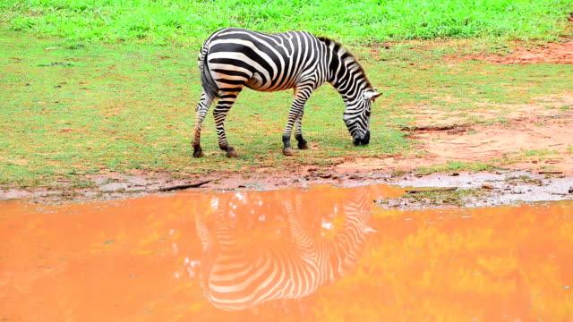 zebras - animal colour stock videos & royalty-free footage