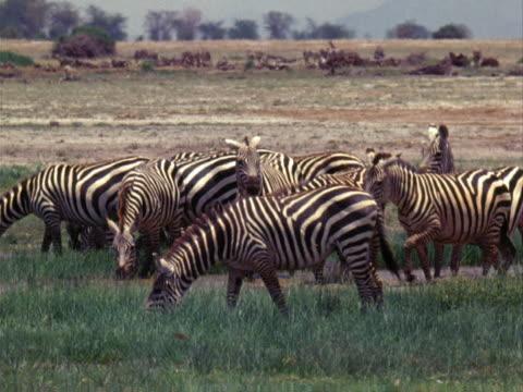 zebras - pflanzenfressend stock-videos und b-roll-filmmaterial