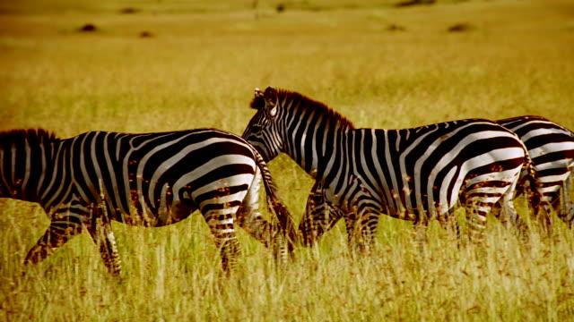 ms pan zebras walking across grassland / masai mara, kenya - medium group of animals stock videos & royalty-free footage