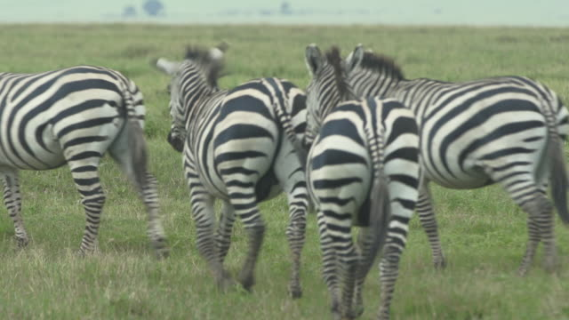 zebras walking away on plains - animals in the wild stock videos & royalty-free footage