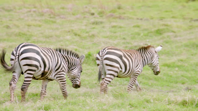 MS TS Zebras walking on savanna landscape / Kenya