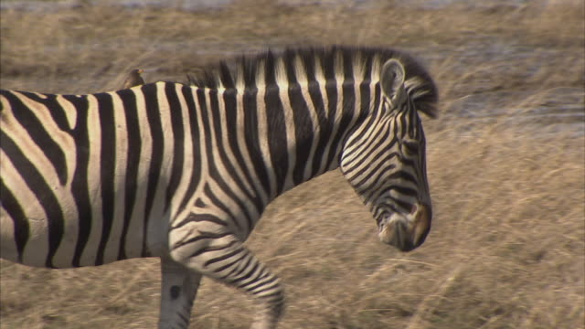 cu, pan, zebras (equidae family) with oxpeckers (family buphagidae) walking though savannah, okavango delta, botswana - symbiotic relationship stock videos & royalty-free footage