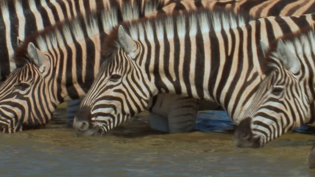 zebras_wasser_close - small group of animals stock videos & royalty-free footage