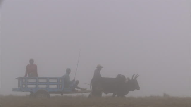 vídeos de stock, filmes e b-roll de zebu cattle pull cart and herders in dawn mist, madagascar - animal de trabalho