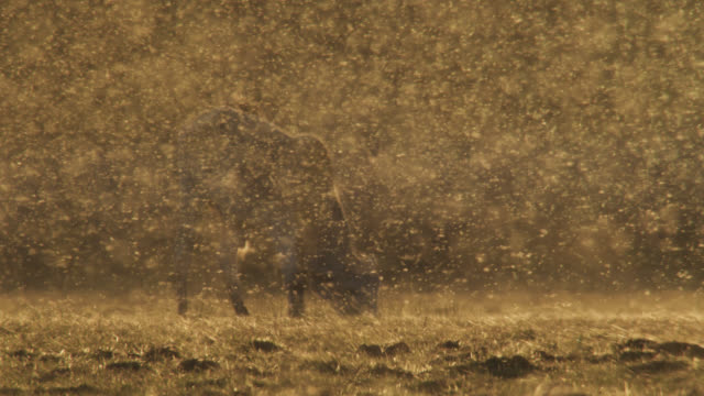 zebu (bos taurus indicus) grazes surrounded by large cloud of midges. - fly stock videos and b-roll footage