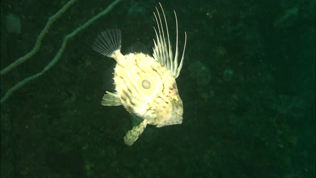 a zeus faber linnaeus swims leisurely toward the ocean floor. diving-shot - john dory fish stock videos & royalty-free footage