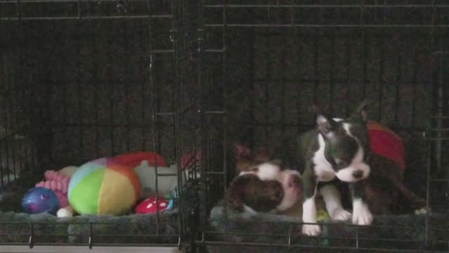 vídeos y material grabado en eventos de stock de zeus, the red and white boston terrier, gently plays with his new companion, nova, after meeting her for the first time. best friends! - terrier