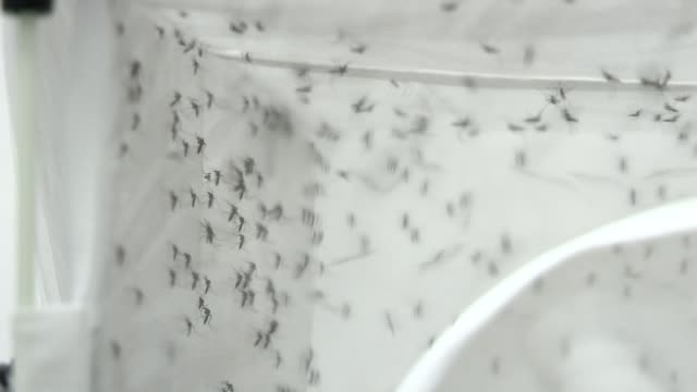 background report ENGLAND Oxford INT Close Shots of mosquitoes in container in laboratory Reporter to camera