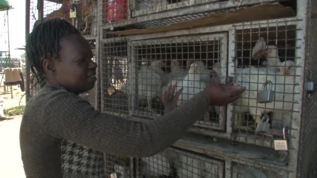 stockvideo's en b-roll-footage met zimbabwe has been hit by an outbreak of highly contagious avian influenza - vogelpestvirus