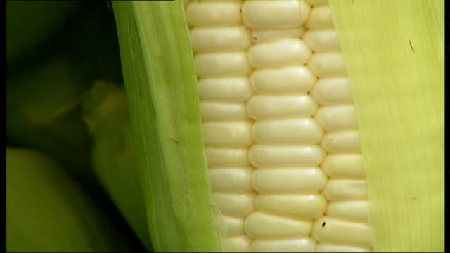 Zimbabwean refugee makes growing corn in his London garden into a business success Close up of cob of white sweetcorn Sweetcorn crop in field