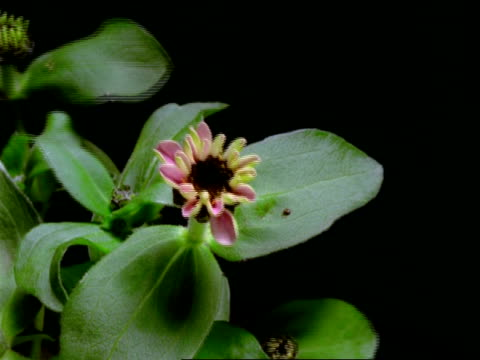 T/L Zinnia Flower - bud opens to pale pink flower, leaves and black background