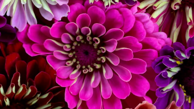 zinnia flowers blooming. 3 clip compilation. - wildflower stock videos & royalty-free footage