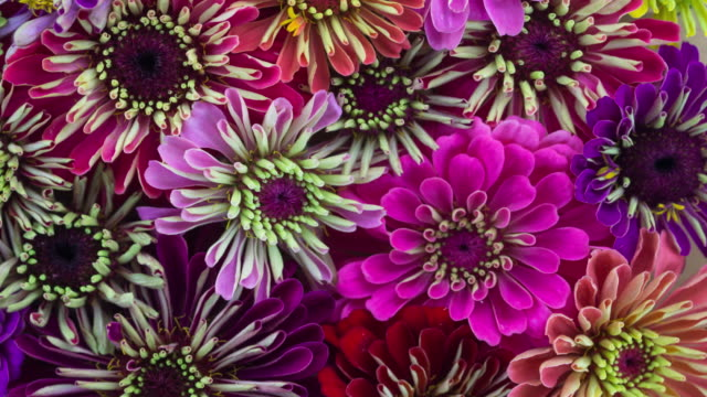 Zinnia Flowers Blooming