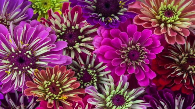 Zinnia Flowers Blooming