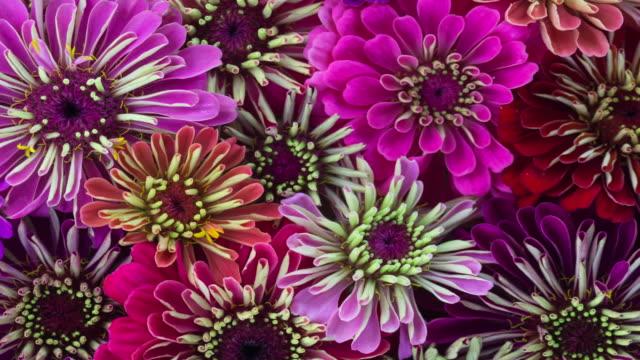 ジニアの花が咲く - 蕾点の映像素材/bロール