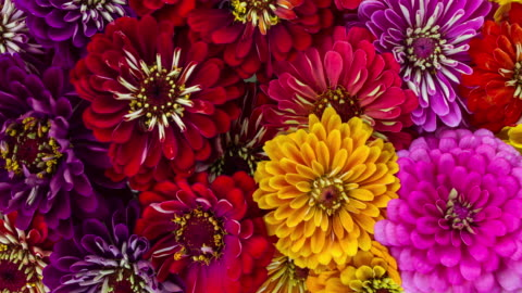 zinnia flowers blooming - flower head stock videos & royalty-free footage