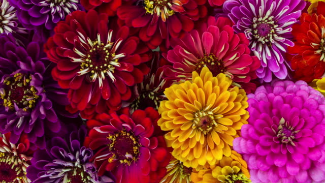 zinnia flowers blooming - multicolore video stock e b–roll