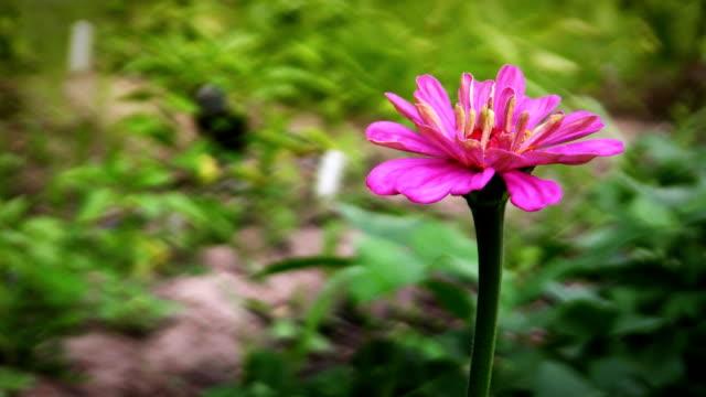 zinnia wide - single flower stock videos & royalty-free footage