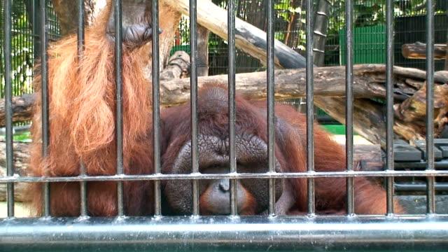 zoo ape - captive animals stock videos & royalty-free footage