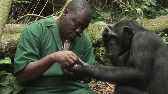 cu zi zoo keeper grooming chimpanzee in forest / ngamba chimp sanctuary, ngamba island, uganda - chimpanzee stock videos & royalty-free footage