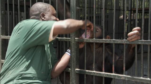 MS ZI CU Zoo keeper inspecting chimp's teeth, Ngamba Island Chimpanzee Sanctuary, Ngamba Island, Uganda