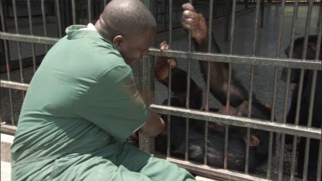 ms zoo keeper playing with chimps through bars of cage, ngamba island chimpanzee sanctuary, ngamba island, uganda - 動物園点の映像素材/bロール