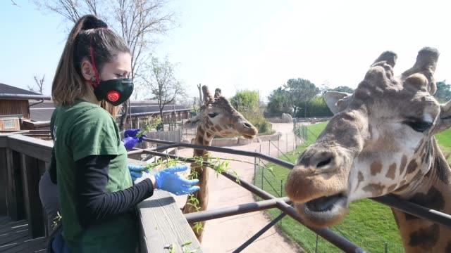 a zoo keeper with a mask feeds the giraffes during the coronavirus pandemic on march 21 2020 in turin italy during the emergency of covid19 the zoo... - zoo stock videos & royalty-free footage