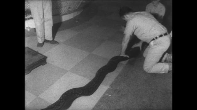 zoo keepers rounding up snakes in the reptile house / three men wangle a python so they can measure it / keepers place the giant python into a steel... - bronx zoo stock-videos und b-roll-filmmaterial