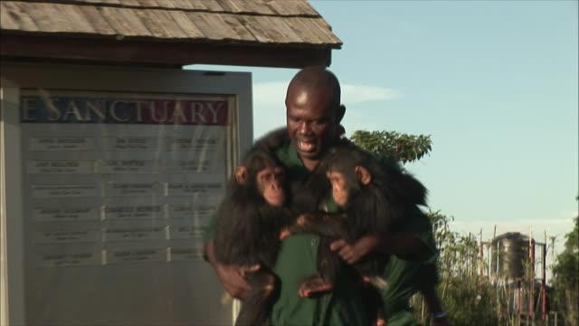 ms zoo keeper's with chimpanzee in zoo / ngamba chimp sanctuary, ngamba island, uganda - 動物園点の映像素材/bロール