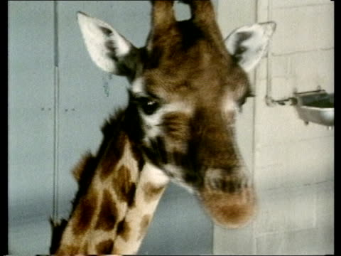 zoo licensing bill; england zoom group of antelopes ) manwell zebras walk in cage ) zoo: cms tiger seated, pull back ) tx 14.3.78 2 giraffes zoom in... - zoo stock videos & royalty-free footage