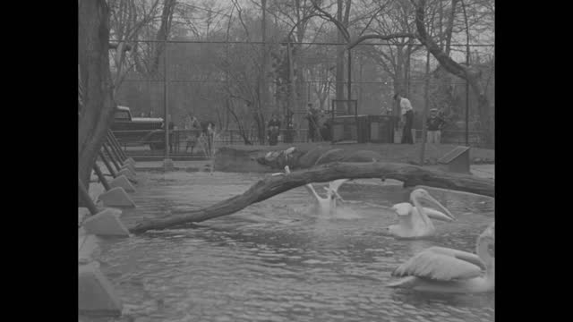 vídeos de stock e filmes b-roll de zookeeper releases pelicans from cage; they fly over to pond and start swimming in pond / pelicans swimming around in pond, zookeeper releases more... - organismo aquático