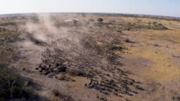 Zoom in aerial view of tourists in a 4x4 off-road safari vehicle watching an extremely large herd of Cape buffalo walking in the Okavango Delta, Botswana