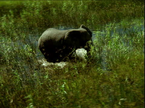 zoom in around elephant walking through shallow river and tall grass, africa - camminare nell'acqua video stock e b–roll