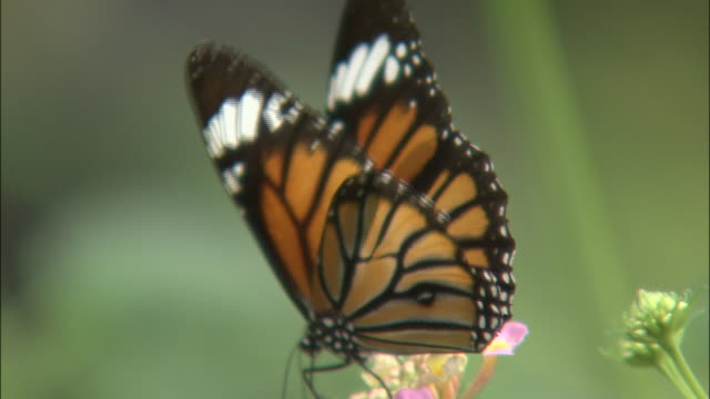 vídeos y material grabado en eventos de stock de zoom in as butterfly feeds on flower then takes flight, japan - un animal