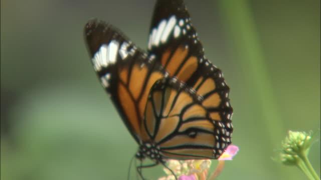 vídeos de stock e filmes b-roll de zoom in as butterfly feeds on flower then takes flight, japan - um animal