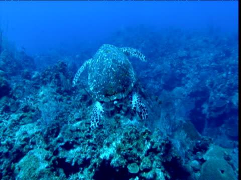 zoom in as hawksbill turtle swims slowly over reef, cayman islands - echte karettschildkröte stock-videos und b-roll-filmmaterial