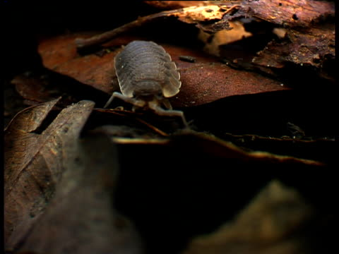 zoom in as woodlouse feeds on leaf litter - animal antenna stock videos & royalty-free footage
