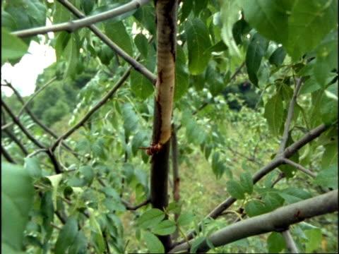 vidéos et rushes de ms zoom in, hornet (vespa crabro) stripping tree bark to feed on sap, england - vespa