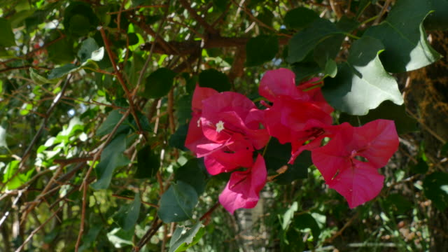 vídeos de stock, filmes e b-roll de 4k zoom in on a cluster of violet pink bougainvillea flowers - arbusto tropical