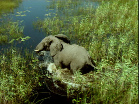 zoom in on elephant splashing through shallow river and tall grass, africa - camminare nell'acqua video stock e b–roll