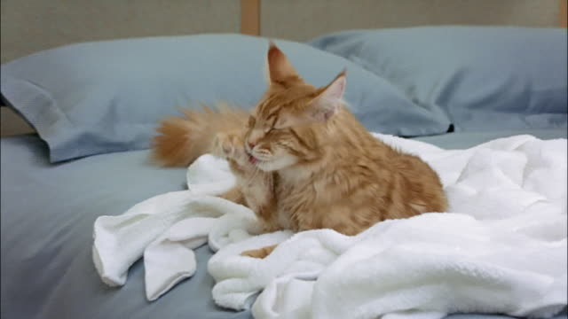 zoom in on red tabby maine coon lying on laundry on top of bed and grooming itself - 横たわる点の映像素材/bロール