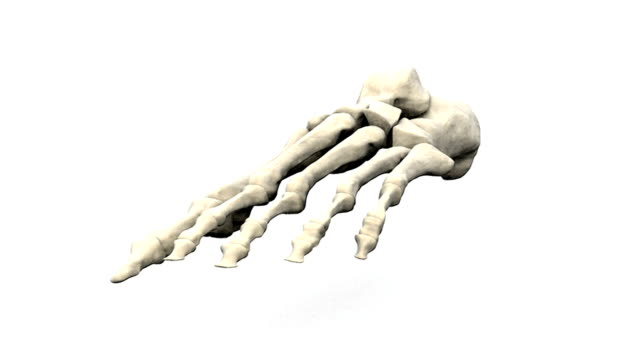 A zoom in on the bones of the left foot which rotate revealing an inferior view.